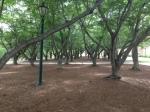 SamfordTrees